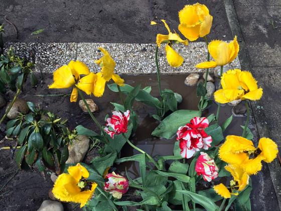 Gelbe und rot-weisse Blumenpracht